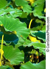 Big leaves of lotus