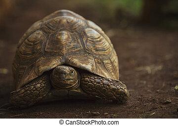 big leopard tortoise
