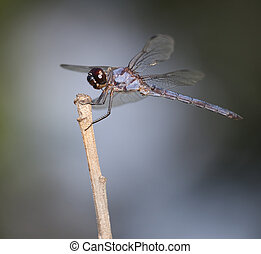 Big light blue dragonfly
