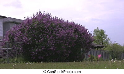 Big lilac bush along fence line zoo - Zooming in on the...