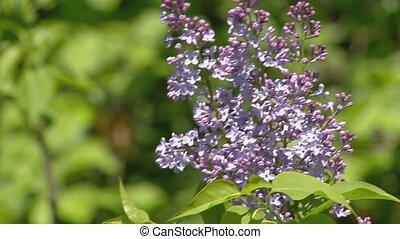 Big lilac bush in spring, beaytiful lilac blooming - Lilac ...