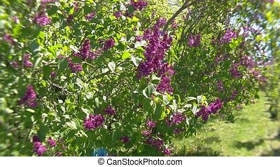 Big lilac bush in spring, beaytiful lilac blooming - Lilac ...