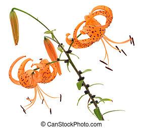 Big lilies small bug