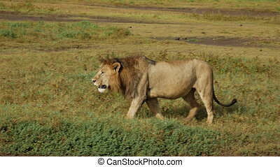 Big Lion in national park is looking for food