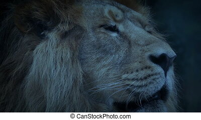 Big Lion In The Evening - Large male lion face closeup at...