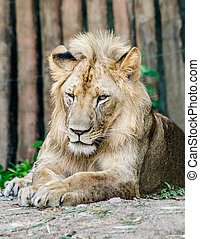 Big lion in zoo