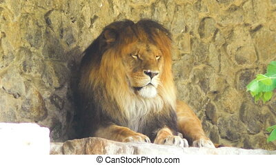 Big lion is dozing in nature.