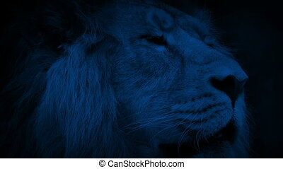 Big Lion Looking Around At Night - Big male lion looks...