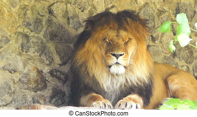 Big lion lying down. - Big lion is looking closely,...