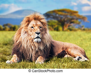 Big lion lying on savannah grass. Landscape with characteristic trees on the plain and hills in the background