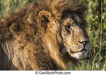 Big lion lying on savannah grass.