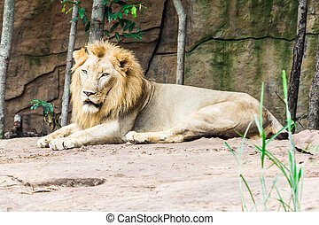 Big lion lying on the rock