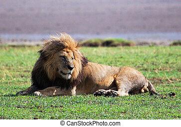 Big lion on savanna. Safari in Serengeti, Tanzania, Africa