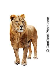 Big lion stands - Big beautiful lion stands isolated on the...