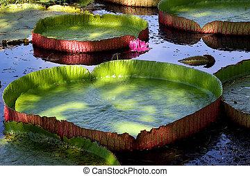 Big lotus leaf in pond