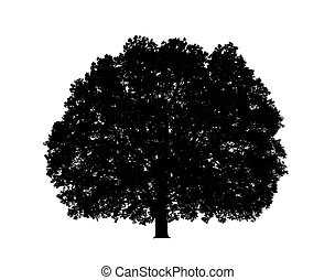 big majestic oak tree isolated