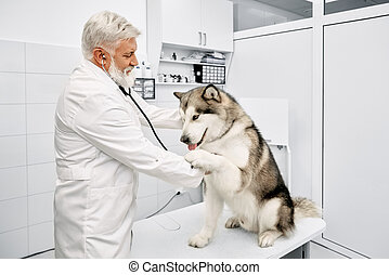 Big malamute giving paw to vet in clinic.