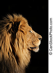 Big male African lion - Side portrait of a big male African ...