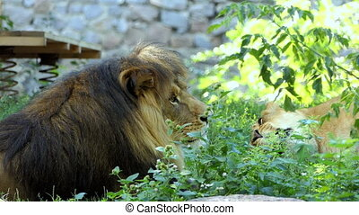 Big Male Lion And Yawning Female Lion Relax Among Greenary