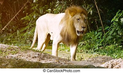 Big, Male Lion Approaching at the Zoo