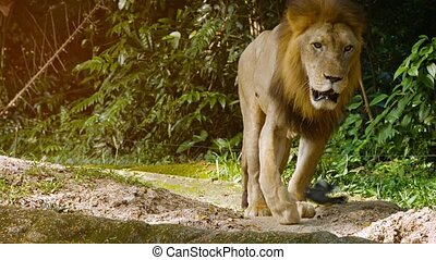 UltraHD video - Big, male lion, approaching the camera slowly in his habitat enclosure at a zoo, with green trees and plants in the Background.