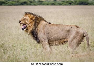 Big male Lion doing a Flehmen grimace.