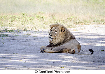 Big male Lion laying on the road.