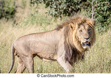 Big male Lion looking at the camera.