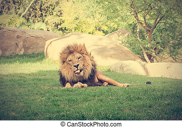 Big male lion lying on the grass