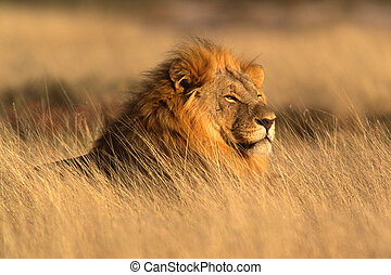 Portrait of a big male lion lying in the grass, Etosha National Park, Namibia