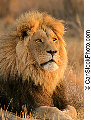 Big male lion - Portrait of a big male lion, South Africa