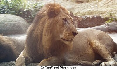 Big, Male Lion, Resting at the Zoo - 3840x2160 video - Big, ...