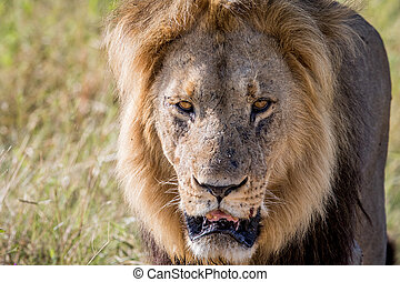 Big male Lion starring at the camera.