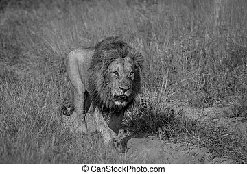 Big male Lion walking on the road.