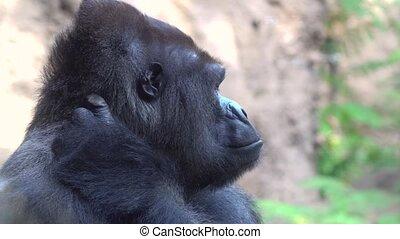big male of silverback Gorilla in natioanl park