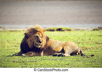 Big male wild lion on savannah. Ngorongoro, Africa.