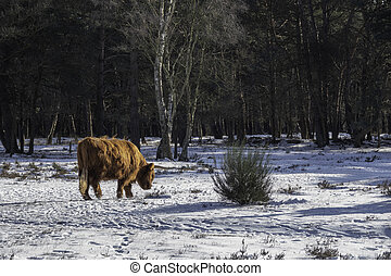 big mammal galloways walking facing the camera