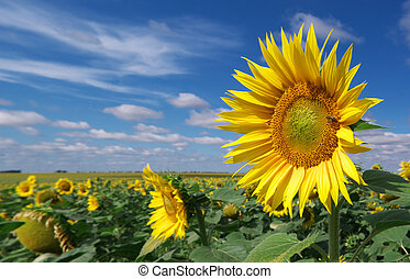 Big meadow of sunflowers. Nature composition.