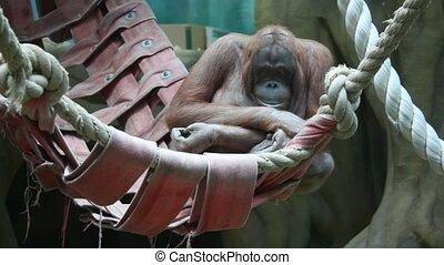 big monkey in hammock - Big serious monkey in hammock.