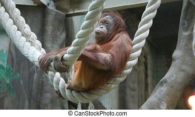 big monkey on rope