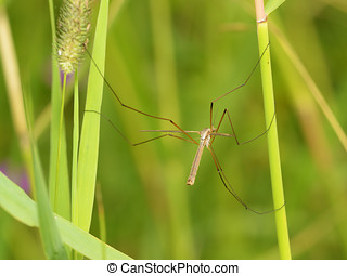 Big mosquito crawling in the grass.