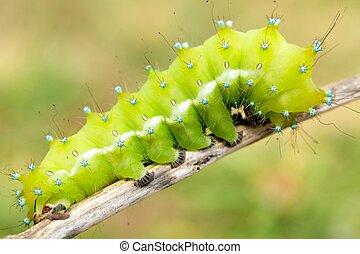 big moth caterpillar