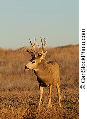 Big Mule Deer Buck - a nice mule deer buck