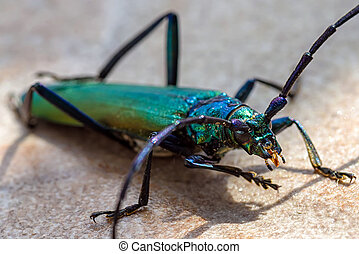 Big musk beetle - Macro photography of big colorful bug on...
