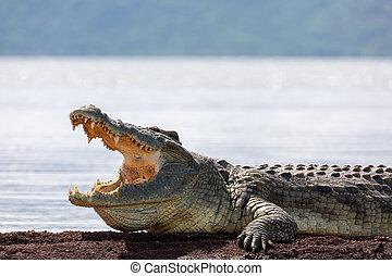 big nile crocodile, Chamo lake Ethiopia, Africa