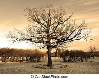 Big oak at the winter