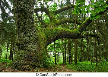 Big oak. - Big oak in the forest - Mazury, Poland.