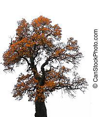 Big oak tree in autumn, on white background