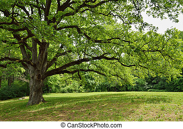 Big Oak Tree in Park with Early Spring Green Leaves