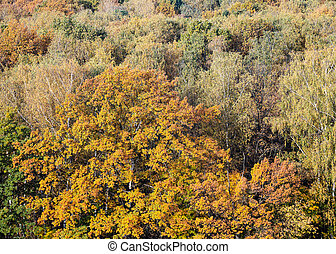 big oak tree with lush foliage in autumn forest